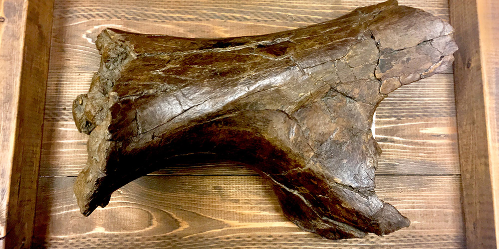 This Triceratops humerus is one of the Museum's larger bone fragments. The end on the right side of the photo is assumed to have been chewed on by another dinosaur!