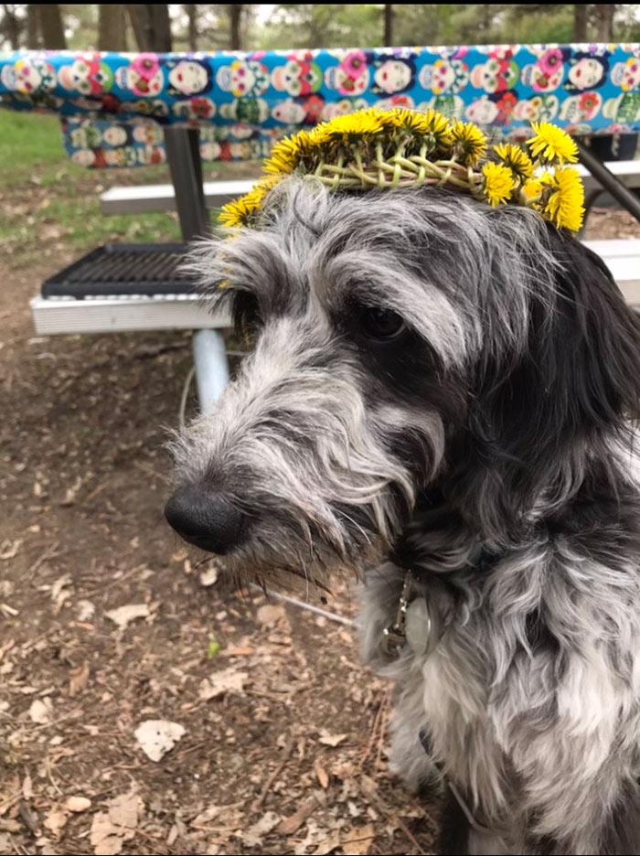 Black and grey dog wearing a dandelion crown.